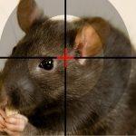 методі уничтожения крыс на участке и в доме
