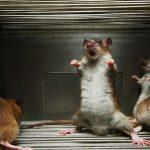 запах мертвых мышей
