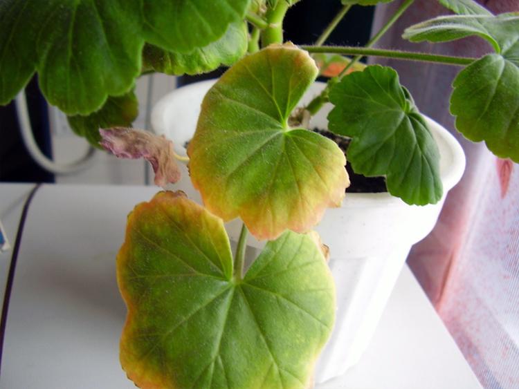 фото желтых листьев на герани