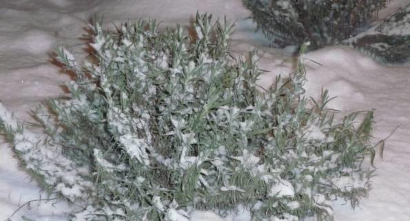 фото правильной зимовки лаванды