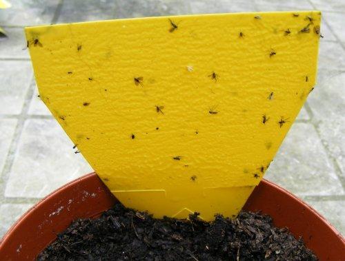 фото ловушек для мошек на комнатных цветках