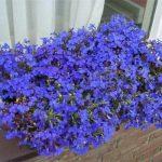 фото домашнего цветка лобелии на балконе