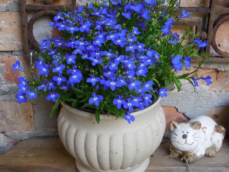 методика ухода за цветком лобелии летом