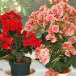 фото цветения бегоний