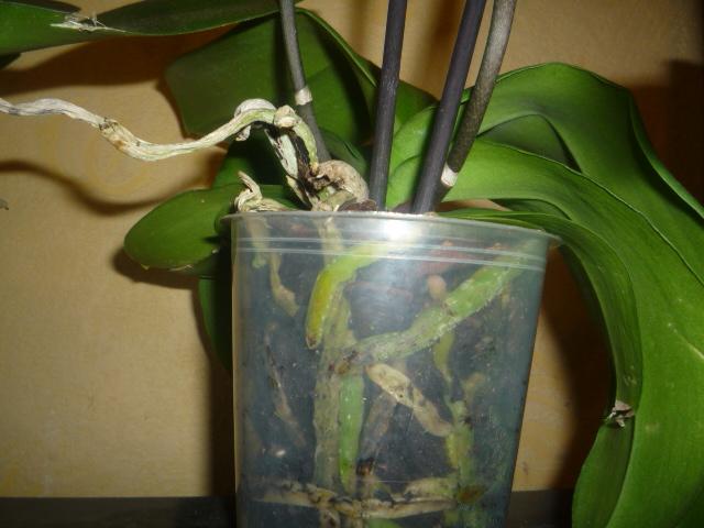 фото горшка для орхидеи фаленопсис