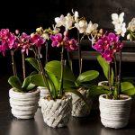 фото орхидеи фаленопсис в горшке
