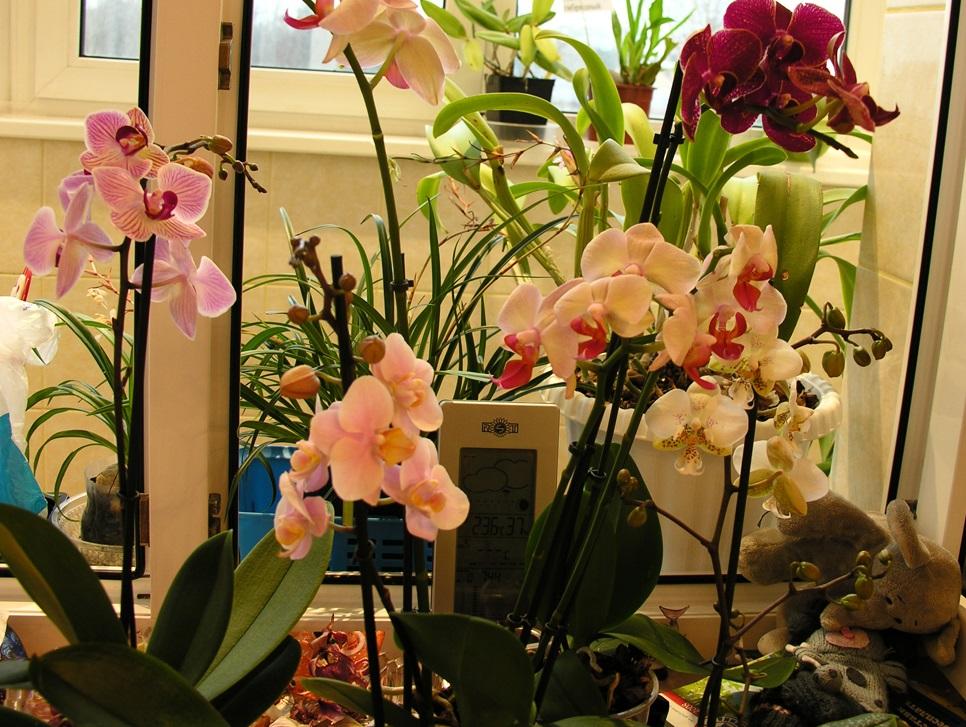фото правильных условий для роста орхидеи фаленопсиса в домашних условиях