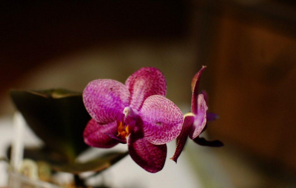 фото цвтенения орхидеи фаленопсис