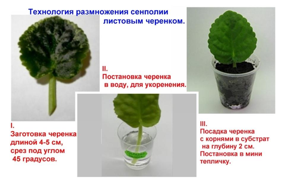 как размножить сенполию черенком