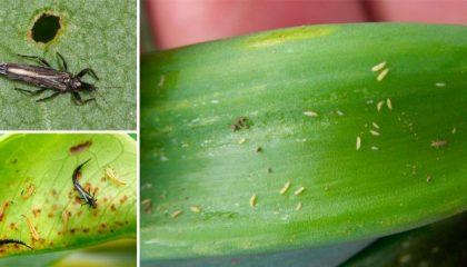 фото цветочного трипса и его личинки