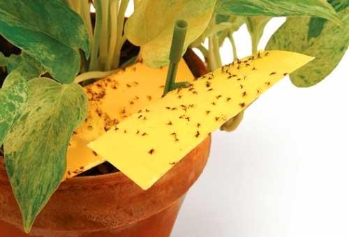 фото ловушки против цветочных трипсов и мошек