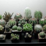 как выращивать кактусы дома