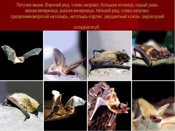 виды летучих мышей фото
