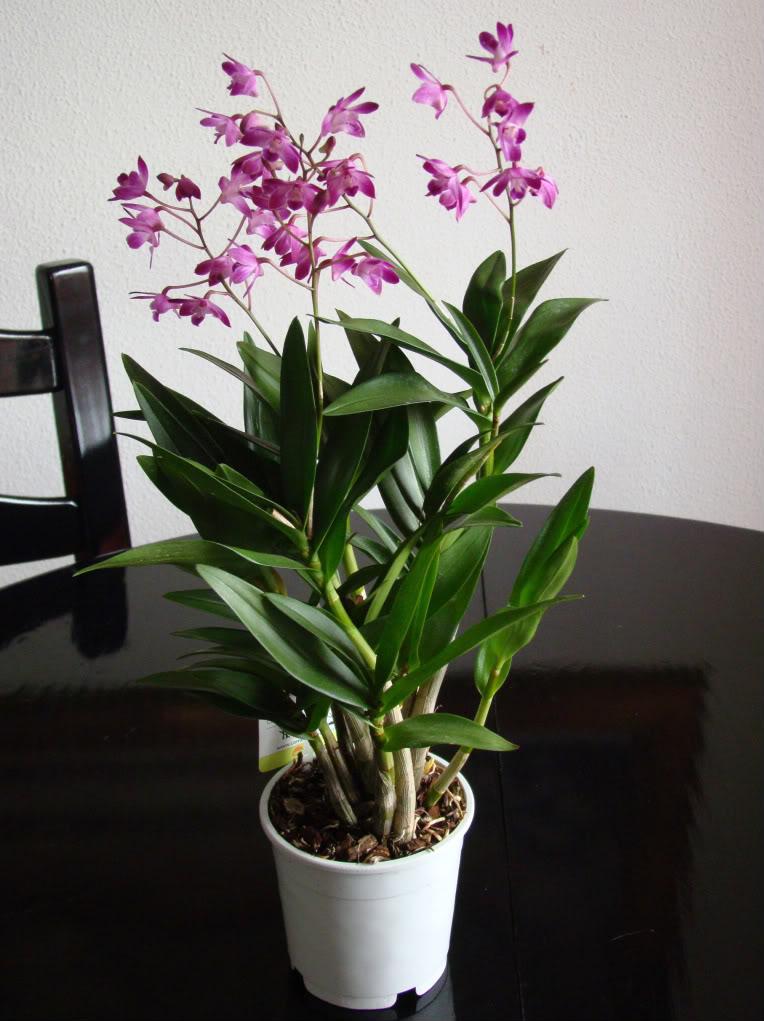 фото ухоженной орхидеи дендробиум дома