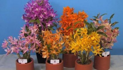 уход за орхидея дендробиум