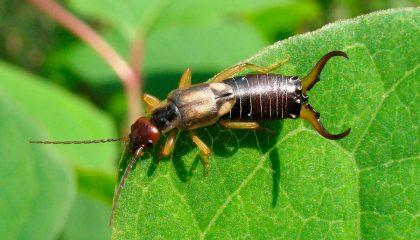фото насекомого уховертка